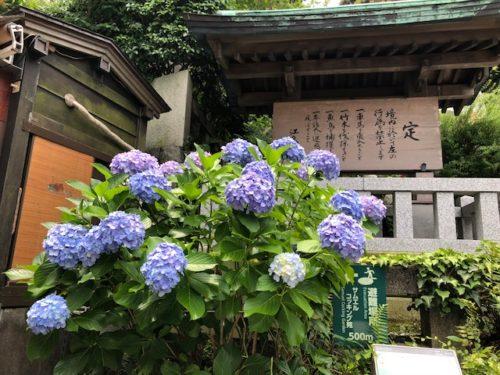 江の島神社 あじさい